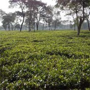 Tea Garden Ready to Sell in Darjeeling with Attractive Prices