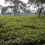 CTC Tea Garden Ready to Sell in Darjeeling