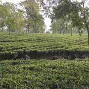 Orthodox Tea Garden in Darjeeling & Dooars